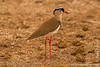 Crowned Lapwing aka Crowned Plover