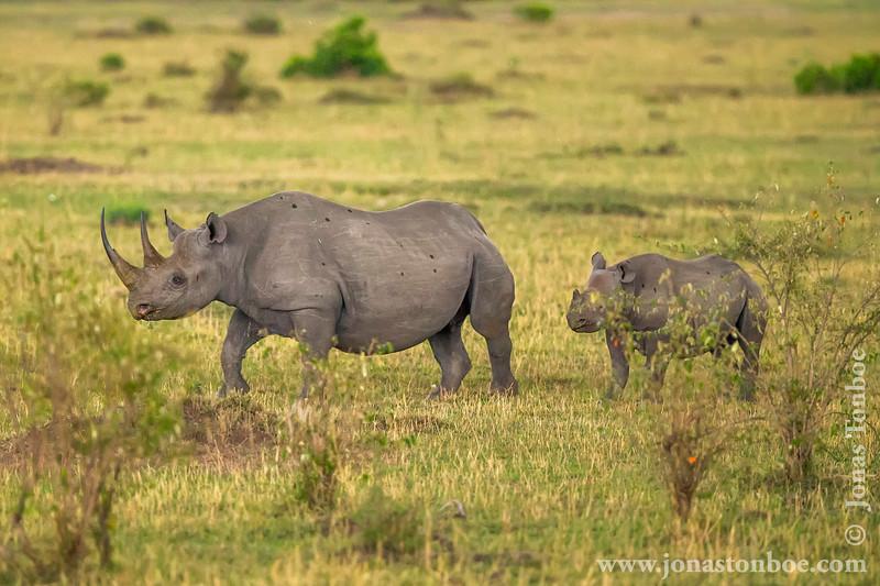 Female Black Rhinoceros and Calf