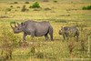 Female Black Rhinoceros and Calf