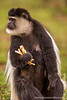 Eastern Black-and-white Colobus aka Abyssinian Black-and-white Colobus aka Mantled Guereza