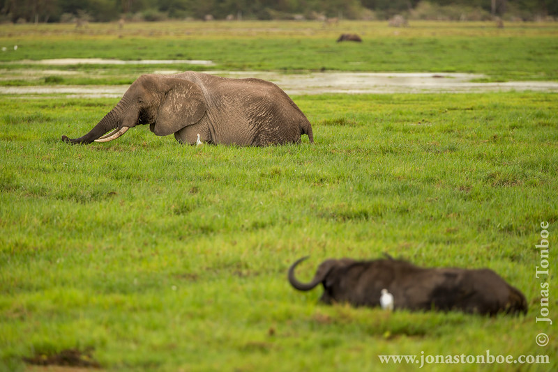 African Bush Elephant and Cape Buffalo aka Southern Savanna Buffalo Grazing in Swamp