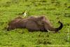 African Bush Elephant Grazing in Swamp