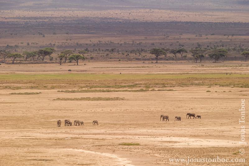 African Bush Elephants Crossing Salt Pan