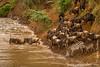Blue Wildebeest aka White-bearded Wildebeest aka Common Wildebeest and Burchell's Zebra aka Plains Zebra Crossing Mara River