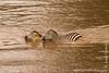 Burchell's Zebra aka Plains Zebra Crossing Mara River