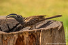 Male African Grey Hornbill