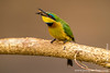 Little Bee-eater With a Bee