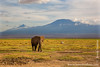 African Bush Elephant in Front of Mount Kilimanjaro