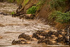 Blue Wildebeest aka White-bearded Wildebeest aka Common Wildebeest Crossing Mara River