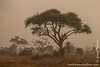 Acacia Tree in a Dust Storm