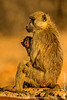 Female and Baby Yellow Baboon
