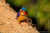Malachite Kingfisher With a Frog