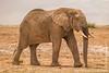 Mud Covered African Bush Elephant