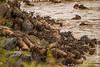 Blue Wildebeest aka White-bearded Wildebeest aka Common Wildebeest Crossing Mara River