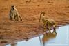 Yellow Baboon at Waterhole