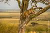 Male African Leopard