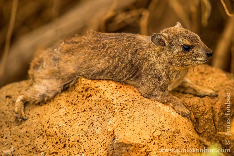 Rock Hyrax aka Cape Hyrax aka Rock Badger