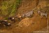 Blue Wildebeest aka White-bearded Wildebeest aka Common Wildebeest and Burchell's Zebra aka Plains Zebra at Mara River