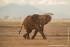 African Bush Elephant in a Dust Storm
