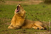 Male African Lion Yawning