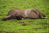 African Bush Elephant Grazing in Swamp
