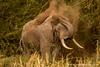 African Bush Elephant Dust Bathing