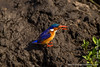 Malachite Kingfisher Eating a Frog