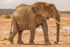 Mud Covered African Bush Elephant