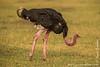 Masai Ostrich