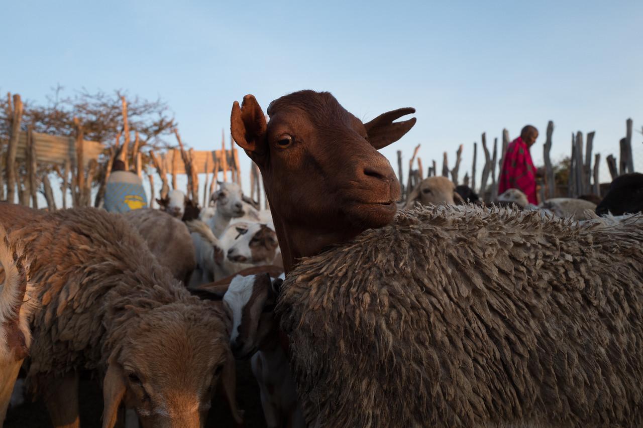Goats and its Masais - Masai-Mara, Kenya