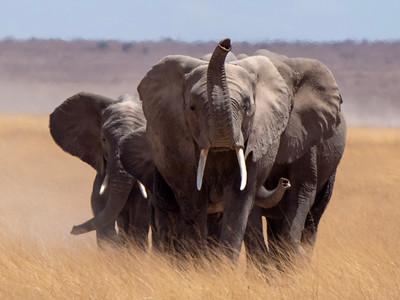 Kenya Elephant 2018