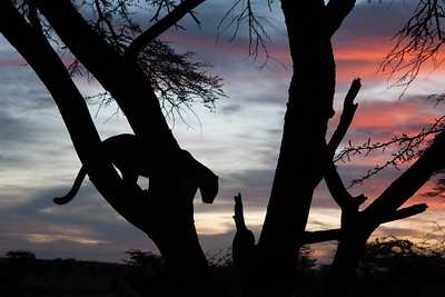 Fig the Leopard with Sunset, Olare Motorogi Conservancy