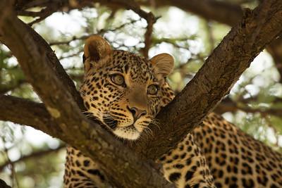 Fig the Leopard, Olare Motorogi Conservancy