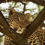 Fig the Leopard, Olare Motorogi Conservancy