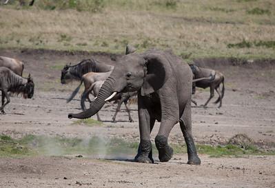 Adolescent Elephant - Masai Mara