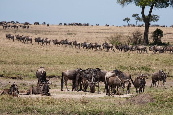 Zigzag of Wildebeest