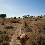 Camel safari - Laikipia