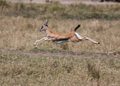 Thompson's Gazelle babies
