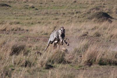 Zebra Stallion Chasing Young Hyena