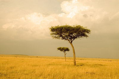 Acacia Tree at sunset, Masai Mara, Kenya