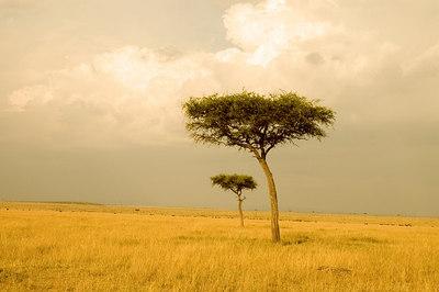 Acacia Tree at sunset, Masai Mara, Kenya