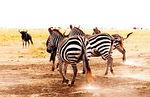 Zebras, Masai Mara 2005