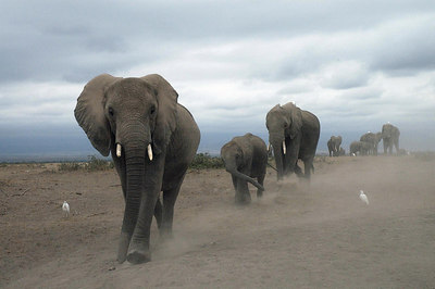 A thundering herd of elephants, Amboselli, Kenya 2005