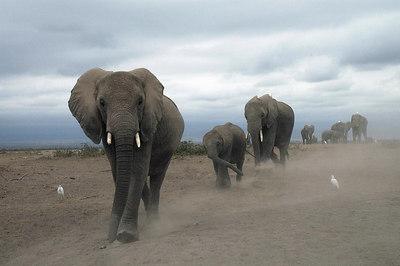 A thundering herd of elephants, Amboselli, Kenya 2005