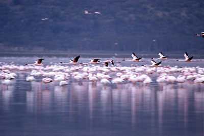The Flamingoes at Lake Nukuru, Kenya