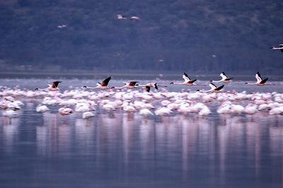 The Flamingoes at Lake Nukuru, Kenya