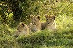 Lion cubs, Masai Mara, Kenya 2005