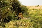 Lion Masai Mara 2005