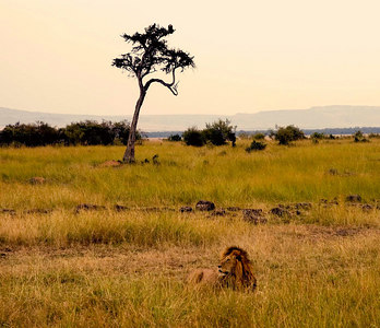 lion in mara