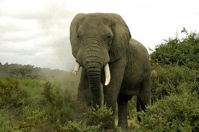 A bull elephant, Amboselli, Kenya 2005